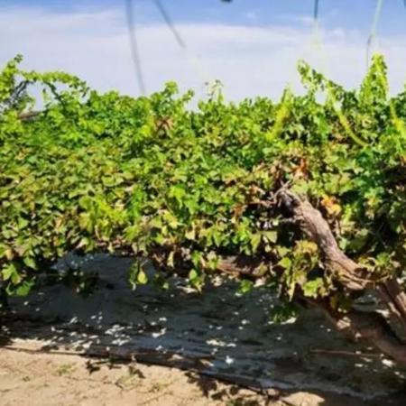 视觉和机器人合作进行葡萄酒生产
